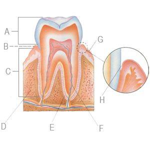 Tooth Anatomy - Dr. Lisa Bentley Dentistry
